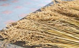 Orecchio di riso Immagini Stock