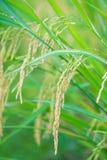 Orecchio di riso nell'azienda agricola della risaia Fotografie Stock