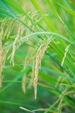 Orecchio di riso nell'azienda agricola della risaia Fotografia Stock Libera da Diritti