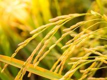 Orecchio di riso prima del raccolto in Tailandia Fotografie Stock Libere da Diritti