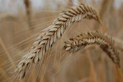 Orecchio di un cereale Fotografia Stock Libera da Diritti