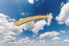 Orecchio dorato del grano al fondo, al raccolto ed all'agricoltura del cielo blu Fotografia Stock