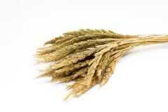 Orecchio dorato di riso isolato su fondo bianco Fotografia Stock Libera da Diritti