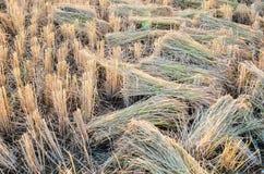 Orecchio dorato di riso nel giacimento della pagaia Immagini Stock