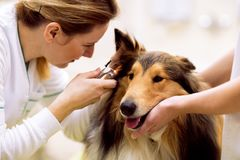 Orecchio malato del controllo veterinario al cane malato con l'otoscopio fotografie stock libere da diritti