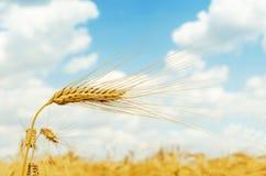 Orecchio maturo di colore dorato del grano nel campo Immagini Stock