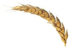 Orecchio secco di grano maturo isolato su bianco Fotografia Stock Libera da Diritti