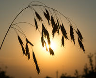 Orecchio su fondo del tramonto Immagini Stock Libere da Diritti