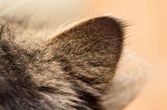 Orecchio in un gatto simile a pelliccia fotografie stock libere da diritti