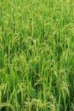 Orecchio verde di riso nel giacimento del risone Immagini Stock