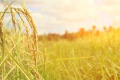 Orecchio verde di riso nel giacimento del risone nell'ambito di alba Immagine Stock