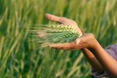 Orecchio verde organico fresco del grano nel campo del raccolto Immagine Stock Libera da Diritti
