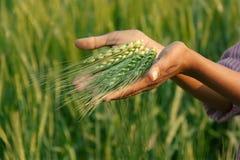 Orecchio verde organico fresco del grano nel campo del raccolto Immagine Stock