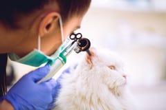 Orecchio veterinario dell'esame del gatto persiano all'ambulanza dell'animale domestico immagine stock