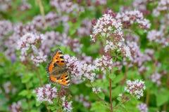 oregano λουλουδιών πεταλούδ& Στοκ φωτογραφίες με δικαίωμα ελεύθερης χρήσης