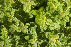 Oregano φύλλα 1 χορταριών Στοκ Εικόνα