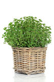 oregano χορταριών φυτό Στοκ φωτογραφίες με δικαίωμα ελεύθερης χρήσης