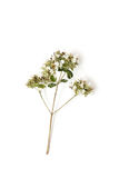 Oregano Stock Photography