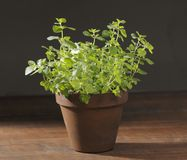 Oregano Foto de Stock Royalty Free
