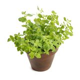 Oregano. Potted oregano herb isolated on white with natural shadow Royalty Free Stock Images