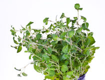 Oregano Fotografia de Stock Royalty Free