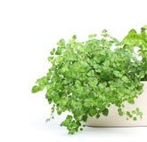 Oregano. Growing in a pot Stock Photo