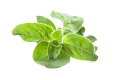 Oregano obrazy royalty free