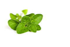 Oregano Fotografia Royalty Free