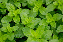 oregano Royaltyfria Foton