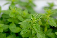 Oregano Stock Image
