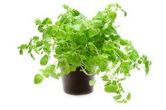 oregano Obraz Stock