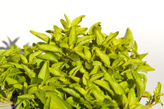 Oregano Stock Images