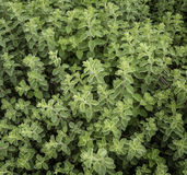 oregano Obraz Royalty Free