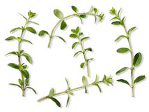 oregano Stockbild