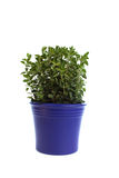 Oregano in  blue pot Stock Photography