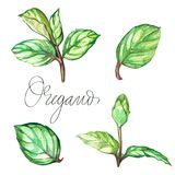 Oregano. Botanical drawing of a oregano. Watercolor beautiful illustration of culinary herbs used for cooking and. Garnish. Isolated on white background Stock Images