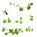 Oregano branches, macro Stock Photo