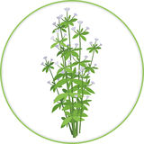 Oregano Bunch Stock Photography