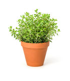 Oregano in a clay pot Royalty Free Stock Photos