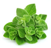 Oregano closeup Royalty Free Stock Image