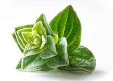 Oregano closeup on white background Stock Image