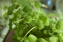 Oregano. For containers of deep fryer oil Stock Photo