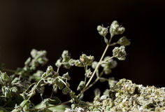 Oregano flower Stock Photos
