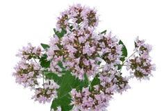 Oregano flower Royalty Free Stock Photo