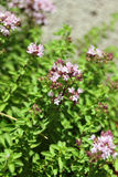 Oregano with flowers Stock Photography