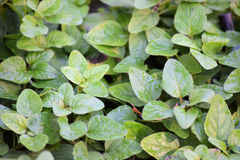 Oregano growing Royalty Free Stock Photos