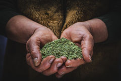 Oregano in hand Stock Photos
