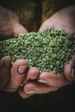Oregano in hand Stock Images