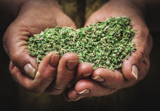 Oregano in hand Stock Photography