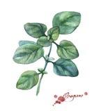oregano Hand gezeichnete Aquarellmalerei Lizenzfreie Stockfotos